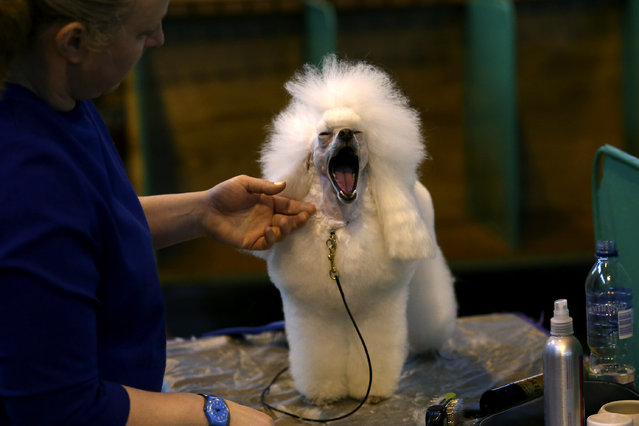 A Toy Poodle yawns as it is groomed on the fourth and final day of Crufts dog show at the National Exhibition Centre on March 8, 2015 in Birmingham, England.  First held in 1891, Crufts is said to be the largest show of its kind in the world. The annual four-day event, features thousands of dogs, with competitors travelling from countries across the globe to take part and vie for the coveted title of 'Best in Show'.  (Carl Court/Getty Images)