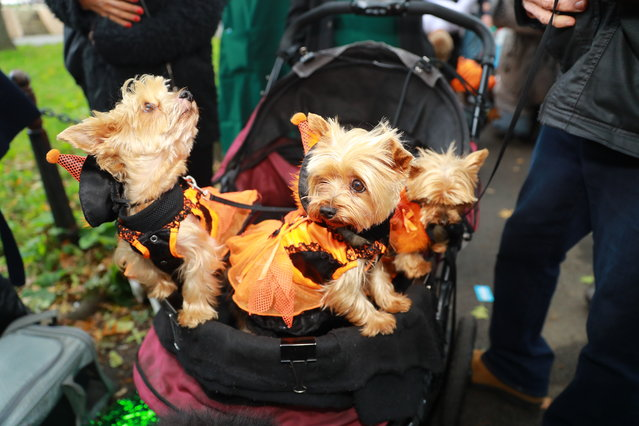 A carriage of Yorkies in dresses attend the 28th Annual Tompkins Square Halloween Dog Parade at East River Park Amphitheater in New York on October 28, 2018. (Photo by Gordon Donovan/Yahoo News)