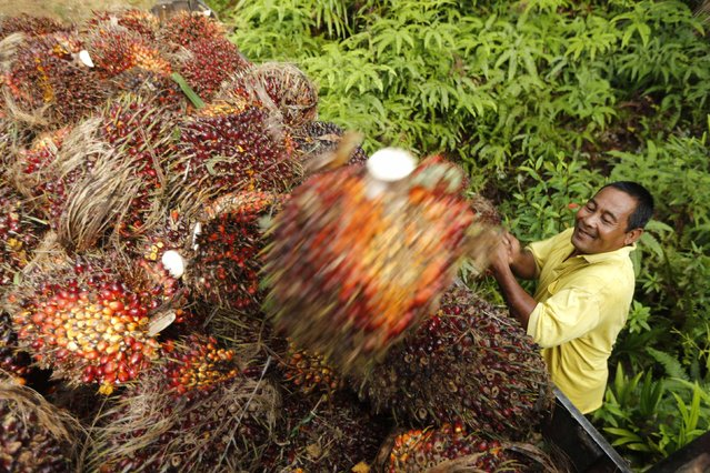 A worker loads oil palm fruit into a lorry at a local palm plantation in Shah Alam outside Kuala Lumpur November 21, 2013. Palm oil stocks in Malaysia could fall to 1.87 million tonnes by end-2013, down nearly 30 percent on a year earlier, as foreign and domestic demand for the edible oil outpaces production, according to the head of Malaysian Palm Oil Board's (MPOB) economic unit Ramli Abdullah. (Photo by Samsul Said/Reuters)