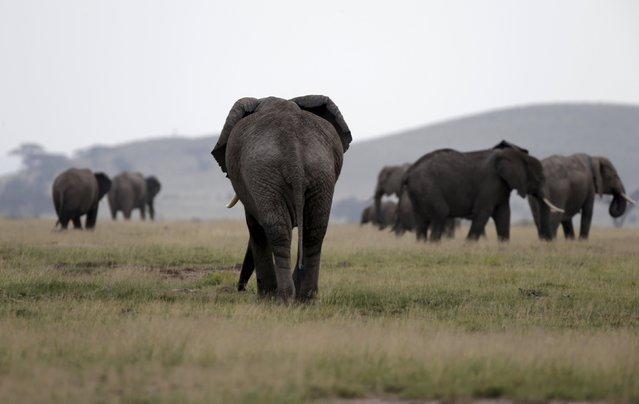 Elephants walk in Amboseli National park, Kenya, February 10, 2016. (Photo by Goran Tomasevic/Reuters)