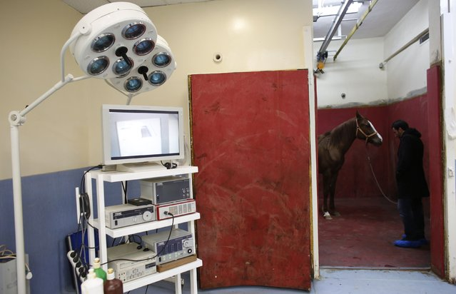 A racehorse, escorted by its groom, waits for an anaesthetic in the induction and recovery box at Veliefendi equine hospital in Istanbul March 4, 2015. (Photo by Murad Sezer/Reuters)