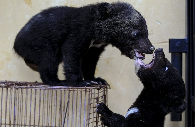 Three-month-old baby bears play at a wild animal park in Kunming, Yunnan province, China, April 27, 2015. (Photo by Wong Campion/Reuters)