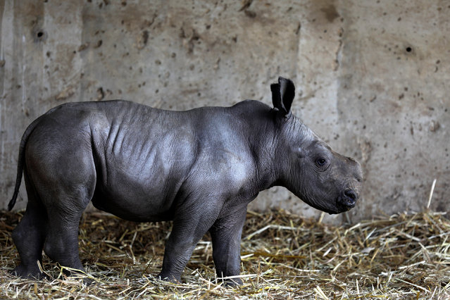 Rami, a white rhinoceros male calf, born about a week ago at the Ramat Gan Safari Zoo, stands in an enclosure at the zoo near Tel Aviv, Israel February 6, 2017. (Photo by Amir Cohen/Reuters)