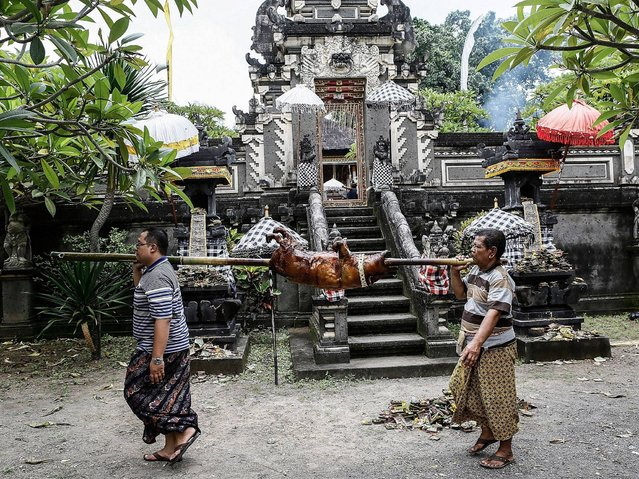 Villagers carry roasted pig to Dalem Temle at Timbrah Village in Karangasem. (Photo by Putu Sayoga/Getty Images)