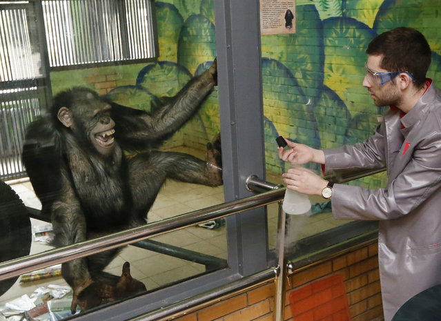 """Anfisa, a 11-year-old female chimpanzee, reacts while watching a performance of Yaroslav Osipov, an employee of the private interactive museum of science """"Newton Park"""", who demonstrates effects of liquid nitrogen during a comic telerecording for a local TV channel prior to the upcoming April Fools' Day at a zoo in Krasnoyarsk, Siberia, Russia, March 31, 2016. (Photo by Ilya Naymushin/Reuters)"""