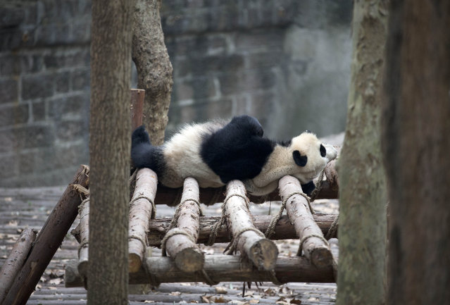 A giant panda sleeps on the los as U.S. first lady Michelle Obama, her daughters Sasha, Malia, and her mother Marian Robinson visit the Giant Panda Research Base in Chengdu in southwest China's Sichuan province Wednesday, March 26, 2014. (Photo by Andy Wong/AP Photo)