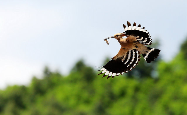 A hoopoe, or Upupa epop, carries an insect in Yichun, China. (Photo by Costfoto/Barcroft Images)