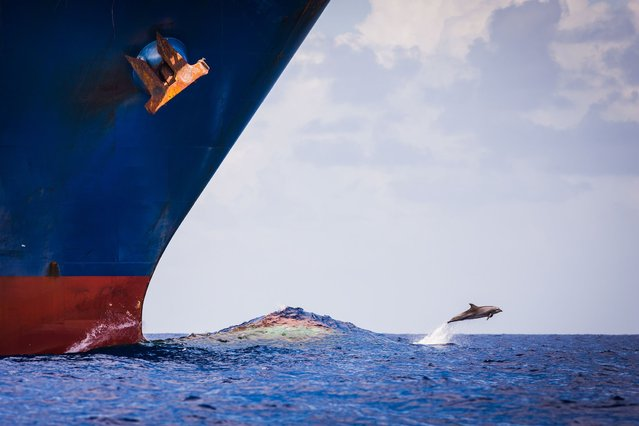 A brave group of dolphins jump gleefully above the waves right in front of a giant 73,000 ton container ship. (Photo by Richard Steinberger/Solent News & Photo Agency)