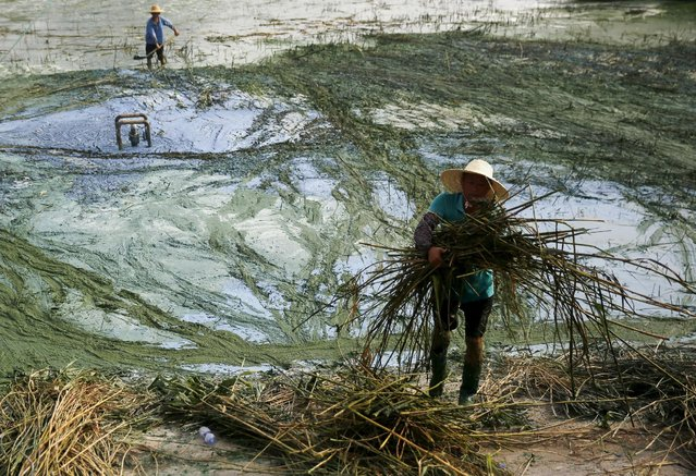 Villagers remove reeds covered by algae at the polluted Chaohu Lake, in Hefei, Anhui province, in August 8, 2015. According to local media, smelly algae cover a large area of the Chaohu Lake every summer in recent years. Villagers living around the lake formed a volunteer group to try to clean the water. (Photo by Reuters/Stringer)