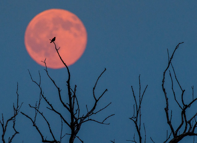 A picture made available on 21 June 2016 shows a bird sitting on a branch of a tree in front of a full moon with a slight reddish tint in Jacobsdorf near Frankfurt an der Oder, Germany, 20 June 2016. (Photo by Patrick Pleul/EPA)