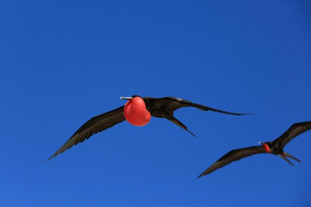 Flying male frigate bird during the mating season, Christmas Island, Kiribati. (Photo by Natalia Harper/Alamy Stock Photo)