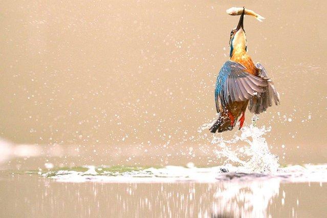 Kingfisher, Worcestershire, UK. (Photo by Marco Urso)