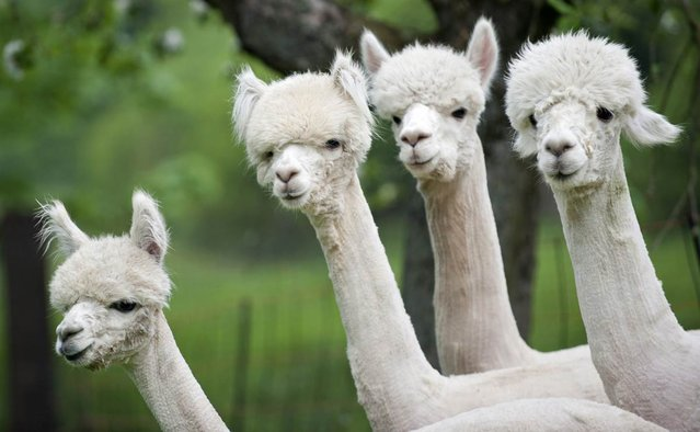 Alpacas stand on a field in Friedberg, Germany on May 2, 2012