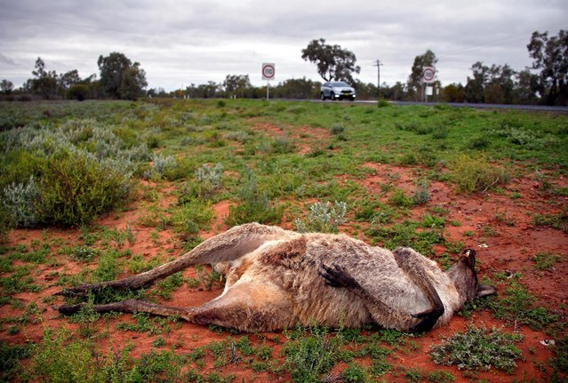A dead kangaroo is seen on the ground as Australian Electoral Commission officials Kelly-Anne Mackay and Heather McInerney drive their car to assemble a remote voting station outside the western New South Wales outback town of Enngonia, Australia, June 22, 2016. (Photo by David Gray/Reuters)