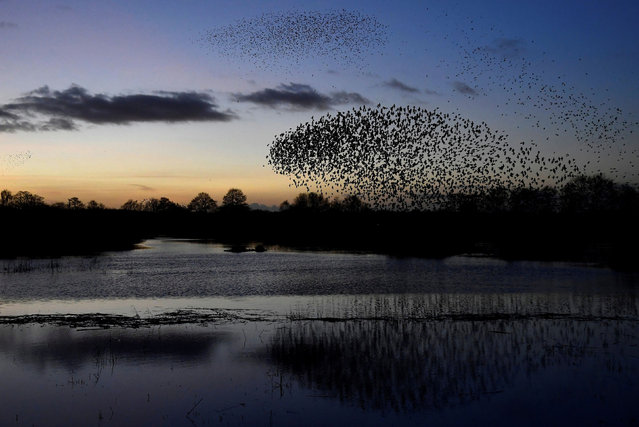 Murmurations are seen at dusk as thousands of starlings return to roost on the Somerset Levels, near Glastonbury, Britain, January 3, 2020. (Photo by Toby Melville/Reuters)