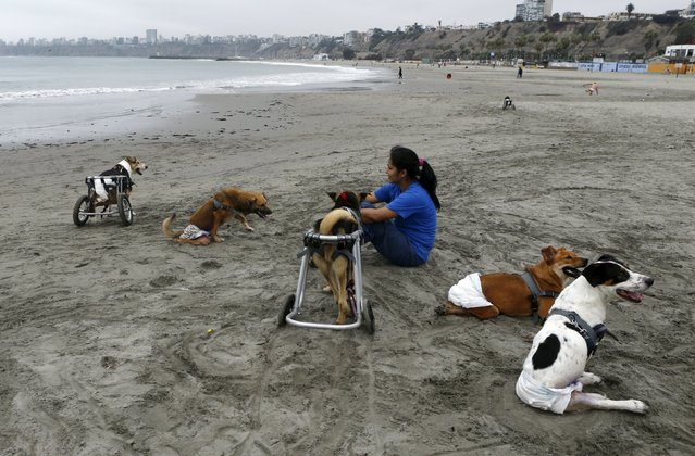 Belen Suarez, a dog shelter volunteer sits with paraplegic dogs at Pescadores beach in Chorrillos, Lima, September 7, 2015. (Photo by Mariana Bazo/Reuters)