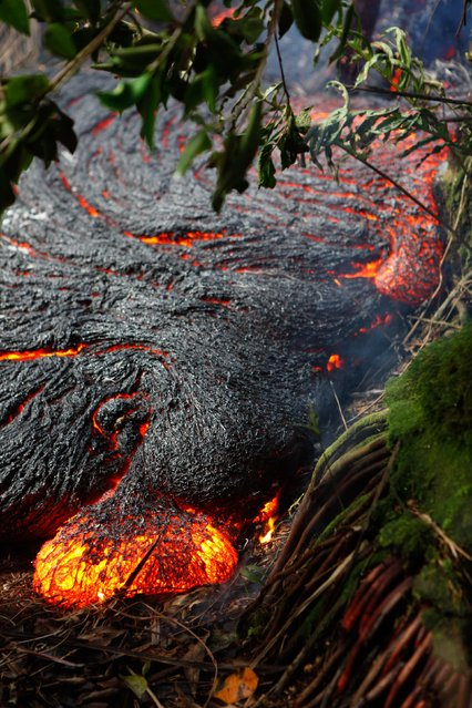 A lava toe oozes out of the northern margin of the Kilauea volcano lava flow in thick forest, about 300 meters (328 yards) upslope of the leading edge of the flow near Pahoa, Hawaii in this November 1, 2014 USGS handout photo. Hawaii civil defense officials say the lava flow that's been inching its way down hill towards the village of Pahoa for weeks is still very much active but that it hasn't advanced in the last 48 hours. (Photo by Reuters/USGS)
