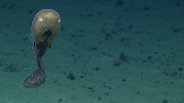 This June 29, 2016 image made available by NOAA shows a cusk eel with an unusual bulbous head shape with small eyes, large nostrils, and a mouth placed low on the head, during a deepwater exploration of the Marianas Trench Marine National Monument area in the Pacific Ocean near Guam and Saipan. Researchers believe this could be a new species. (Photo by NOAA Office of Ocean Exploration and Research via AP Photo)