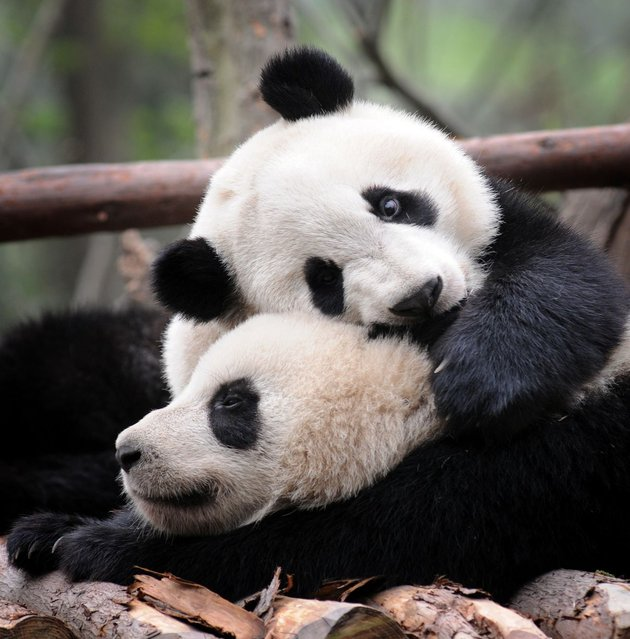 Two young pandas play at the Chengdu Panda breeding center in Chengdu, China, on July 25, 2013. (Photo by Clare Kendall/Barcroft Media)
