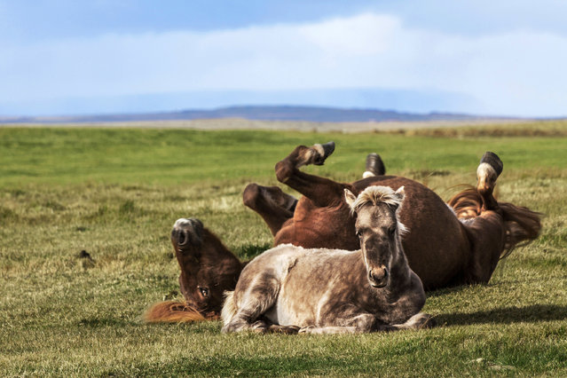 One horse lays down while the other rolls around on its back. (Photo by Bragi J. Ingibergsson/Caters News)