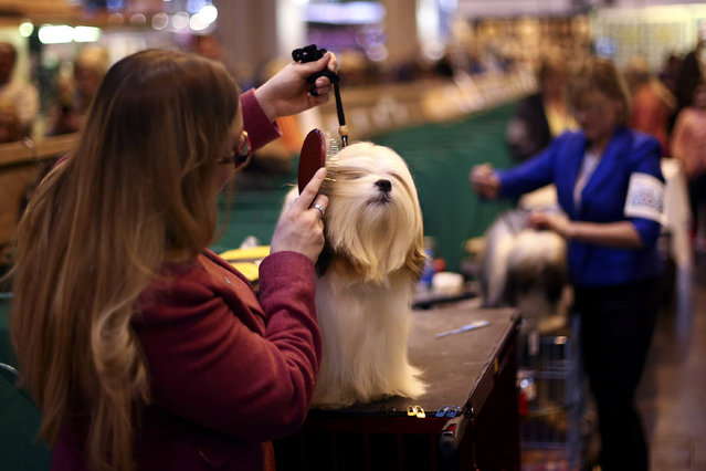 A Lhasa Apso is groomed on the fourth and final day of Crufts dog show at the National Exhibition Centre on March 8, 2015 in Birmingham, England.  First held in 1891, Crufts is said to be the largest show of its kind in the world. The annual four-day event, features thousands of dogs, with competitors travelling from countries across the globe to take part and vie for the coveted title of 'Best in Show'. (Carl Court/Getty Images)