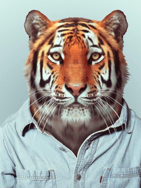 Tiger wearing a denim shirt. (Photo by Yago Partal/Barcroft Media)