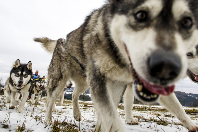 Mushers and theirs dog teams during the Sedivackuv long race, Orlicke Mountains, Czech Republic on January 28, 2016. (Photo by David Tanecek/CTK via ZUMA Press)