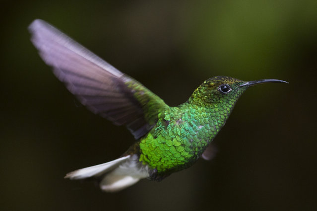 A Coppery Headed Emerald is pictured at a Hummingbird feeding station on January 07, 2016 in Monteverde Costa Rica. (Photo by Dan Kitwood/Getty Images)