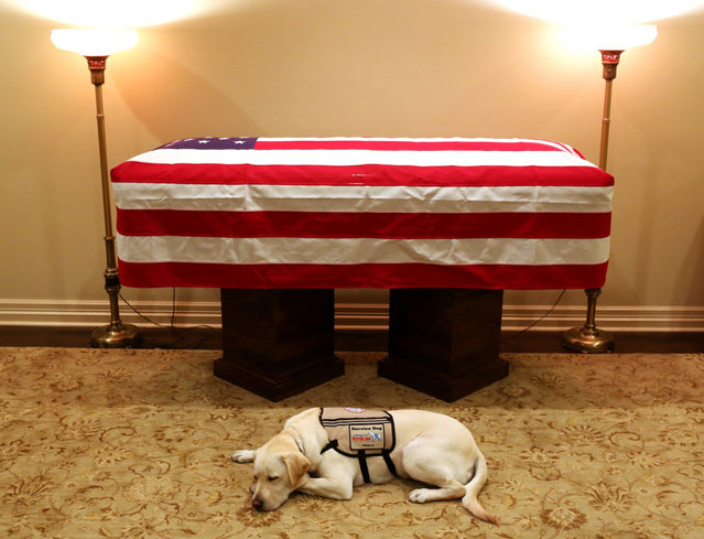 This Sunday, December 2, 2018 photo, Sully, President George H.W. Bush's service dog lies in front of his casket in Houston. The 41st president died Friday at his home in Houston at 94. (Photo by Evan Sisley/Office George H.W. Bush via AP Photo)