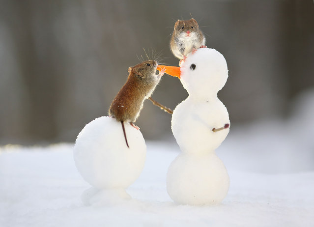 An adorable forest vole perches on a snowball to nibble the carrot nose of a miniature snowman, joined by another vole which clambered onto the snowman's head as temperatures plunged to minus 15 degrees Celsius in Voronezh, Russia on December 23, 2016. (Photo by Vadim Trunov/Solent News/Rex Shutterstock via ZUMA Press)