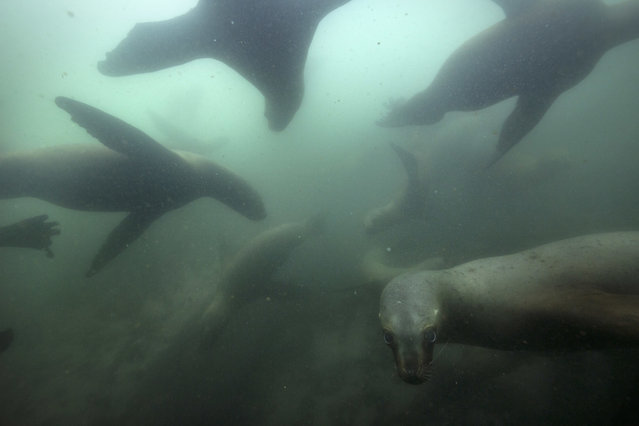 In this September 29, 2018 photo, sea lions swim near the Palomino Islands off the coast of Lima, Peru. Sea lions bathe and feast on the abundant fish that thrive in the cold-water Humboldt current. (Photo by Rodrigo Abd/AP Photo)