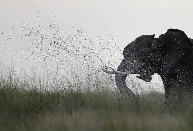 An elephant walks in Amboseli National park, Kenya, February 11, 2016. (Photo by Goran Tomasevic/Reuters)