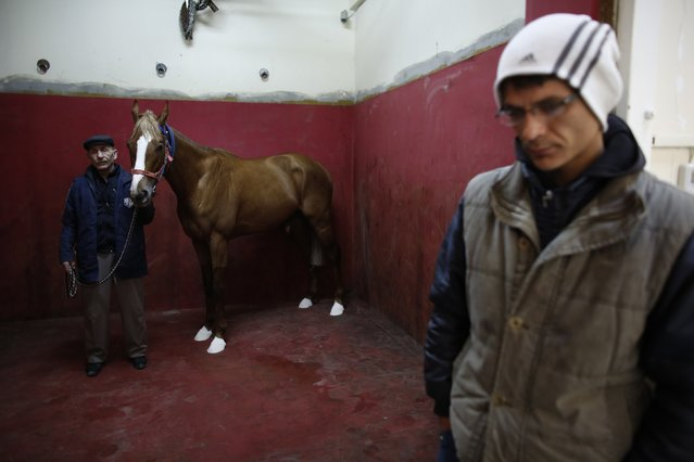 A racehorse is escorted by its grooms as it waits for an anaesthetic in the induction and recovery box at Veliefendi equine hospital in Istanbul March 3, 2015. (Photo by Murad Sezer/Reuters)