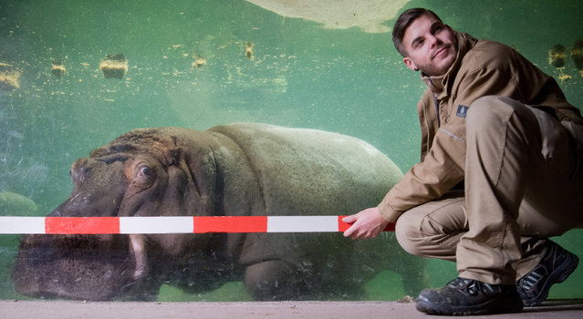 A keeper measures a hippo on January 12, 2017 in Hannover zoo, Germany. (Photo by Julian Stratenschulte/AFP Photo/DPA)