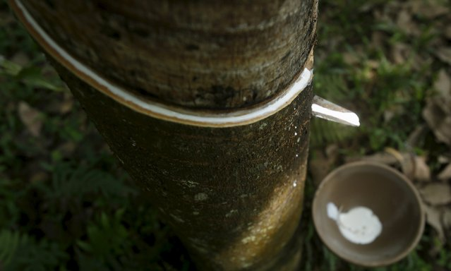 Rubber latex is collected in a bowl at Ham Nghi rubber forest in Huong Tra village, south of Hanoi, April 14, 2015.  Picture taken on April 14, 2015. (Photo by Reuters/Kham)