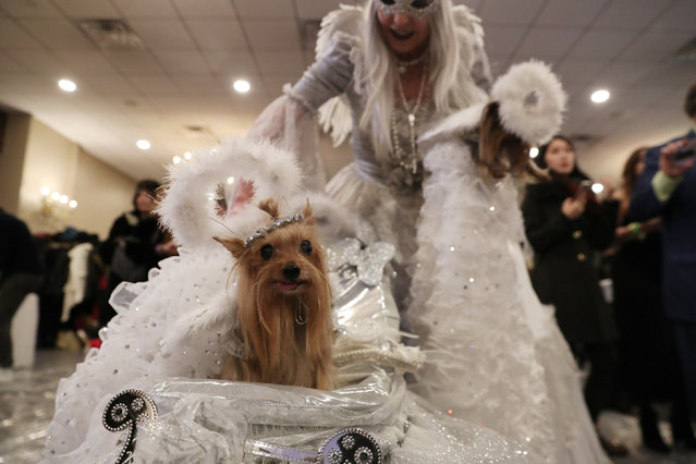 A dog sits in a carriage backstage at the 16th annual New York Pet fashion show in New York, U.S., February 7, 2019. (Photo by Shannon Stapleton/Reuters)