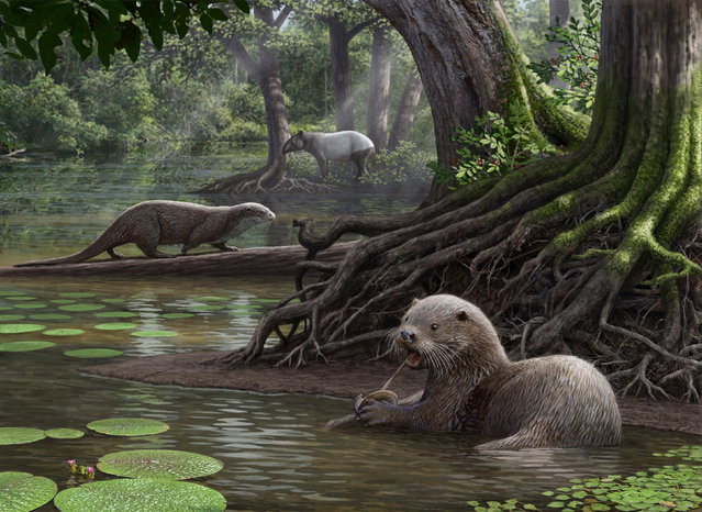 Two Siamogale melilutra individuals, one feeding on a fresh water clam, are pictured in this artist illustration handout image obtained by Reuters January 23, 2017.  Scientists have unearthed fossils of an intriguingly large otter as big as a wolf that frolicked in rivers and lakes in a lush, warm and humid wetlands region in southwestern China about 6.2 million years ago. (Photo by Mauricio Antón/Reuters/Natural History Museum of Los Angeles County)