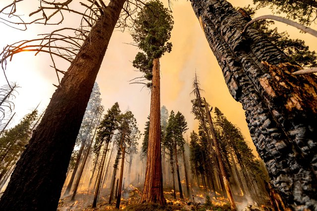 A tree stands in the Trail of 100 Giants grove as flames from the Windy Fire burn in Sequoia National Forest, Calif., on Sunday, September 19, 2021. (Photo by Noah Berger/AP Photo)