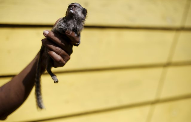 """A woman holds a black-tufted marmoset (Callithrix penicillata) monkey, known as """"Mico-estrela"""" in Portuguese, after it was fed milk at the Jaragua park in Sao Paulo April 27, 2015. (Photo by Nacho Doce/Reuters)"""