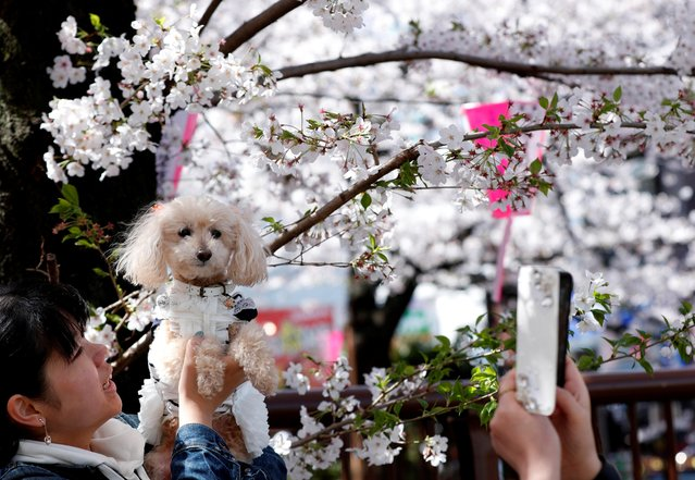 A woman poses with her pet dog in front of cherry blossoms in full bloom in Tokyo, Japan, April 3, 2019. (Photo by Kim Kyung-hoon/Reuters)