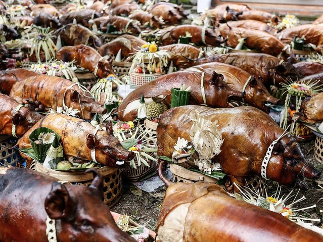 Hundreds of roasted pigs are placed in the Dalem Temple at Timbrah Village in Karangasem. Usaba Dalem is an annual ritual held by the people of Timbrah Village, during this ritual all the villagers will cook roasted pigs and carry them to Dalem Temple as an offering to God and an expression of gratitude for a successful harvest. (Photo by Putu Sayoga/Getty Images)