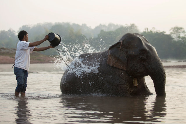 A mahout baths an elephant in Houng River before taking part in an elephant festival, which organisers say aims to raise awareness about elephants, in Sayaboury province, Laos February 17, 2017. (Photo by Phoonsab Thevongsa/Reuters)