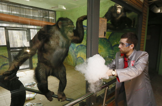 """Anfisa (L), a 11-year-old female chimpanzee, and a male chimpanzee named Tikhon, watch a performance of Yaroslav Osipov, an employee of the private interactive museum of science """"Newton Park"""", who demonstrates effects of liquid nitrogen during a comic telerecording for a local TV channel prior to the upcoming April Fools' Day at a zoo in Krasnoyarsk, Siberia, Russia, March 31, 2016. (Photo by Ilya Naymushin/Reuters)"""