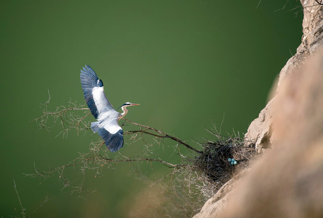 A heron near a nest in Pinglu County, north China's Shanxi Province. As the weather turns warm, hundreds of herons build nests and reproduce here in springtime. (Photo by Liu Wenli/Xinhua News Agency/Barcroft Images)