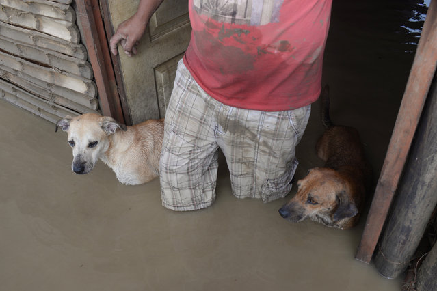 A local resident and his dogs stand in the doorway of their flooded home in Piura, northern Peru on March 28, 2017. More than 50,000 people have been displaced by flood water in the region of Piura in northern Peru and hundreds of houses have been flooded. Many local residents are being taken to shelters set up by the government, while others refuse to leave their land and prefer to stay on high ground in their communities. (Photo by Miguel Arreategui/AFP Photo)