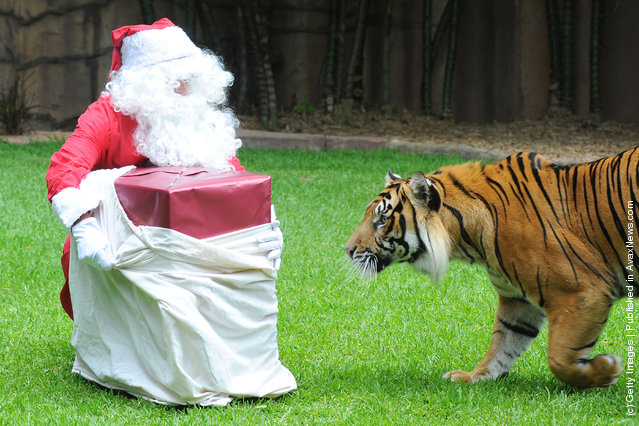 A Sumatran tiger, Bashii meets Santa whilst playing at Australia Zoo