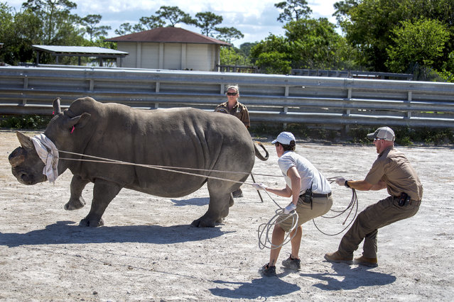 Zoo keeper Jen Rucker, left, and assistant curator Kevin Morris tighten their grip as they keep Lissa in place with curator Ashleigh Kandrac after the 3,500-pound white rhino was injected with narcotics to keep her asleep during surgery at the Lion Country Safari in Loxahatchee, Fla. (Photo by Greg Lovett/AP Photo)