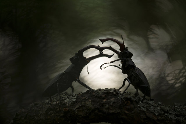 """Runner-up, other animals: Battle of the titans – Svetlana Ivanenko (Russia). """"The stag beetle ( Lucanus cervus) is certainly the most famous species in the family of Lucanidae. For some weeks in June their behaviour is extremely interesting. It is when the males have to stand their ground in the fight for females. This spectacle happens in old oak forests only. This photo was taken in the Voronezh region of Russia. I visit the same spot every year to delight in the behaviour of these fascinating animals. Dozens of insects compete, the females follow the proceedings and then make their choice"""". (Photo by Svetlana Ivanenko/2019 GDT European Wildlife Photographer of the Year)"""
