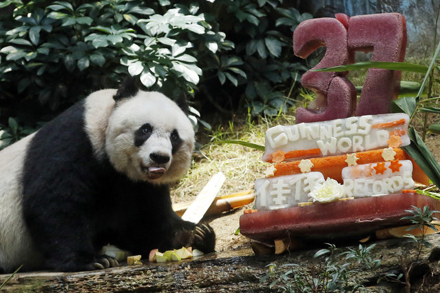 Giant panda Jia Jia eats bamboo next to her birthday cake made with ice and vegetables at Ocean Park in Hong Kong, Tuesday, July 28, 2015 as she celebrates her 37-year-old birthday. (Photo by Kin Cheung/AP Photo)