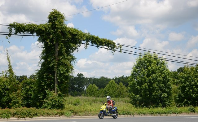 Large trumpet vines spread across electrical lines next to a highway in Kinston, N.C., on June 23, 2014. (Photo by Janet S. Carter/Kinston Free Press via AP Photo)